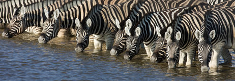 Zebras drinking. Panorama of zebra heads drinking water in Etosha; Equus burchell's Royalty Free Stock Images
