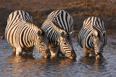 Zebras drinking. Three zebras drink at a waterhole in Etosha; Equus burchell's Royalty Free Stock Photography