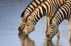 Zebras drinking Stock Images
