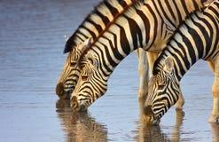 Zebras drinking Stock Images