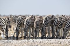 Zebras drinking Royalty Free Stock Photography