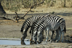 Zebras drinking. At at waterhole in the Kruger National Park Royalty Free Stock Photos
