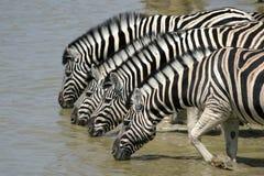 Zebras drinking. Okaukuejo, Etosha National Park, Namibia Royalty Free Stock Image