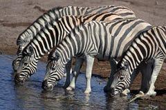 Zebras drinking, Etosha, Namibia Royalty Free Stock Image