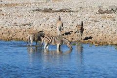 Zebras drinking Stock Photos