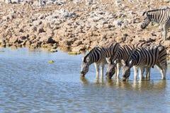 Zebras drinking Royalty Free Stock Photo