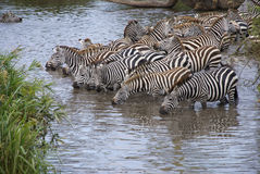 Zebras drinking in pool. Several zebras drinking whie standing in the water Royalty Free Stock Photo