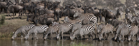 Zebras drinking at the Serengeti National Park Royalty Free Stock Photo