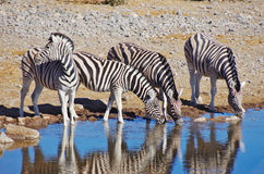 Zebras drinking Royalty Free Stock Images