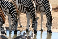 Zebras drinking water Stock Photos
