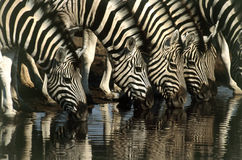 Zebras drinking water Stock Photo