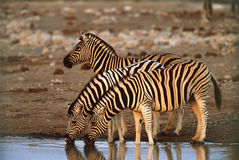 Zebras drinking water Stock Images