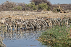 Zebras drinking water at etosha Royalty Free Stock Photo