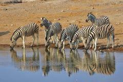 Zebras drinking water at etosha Royalty Free Stock Images