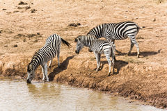 Zebras drinking at the water hole, South Africa Royalty Free Stock Image