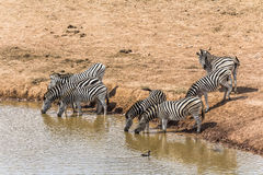 Zebras drinking at the water hole, South Africa Stock Images