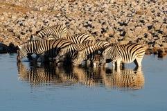 Zebras drinking water, Okaukeujo waterhole Royalty Free Stock Image