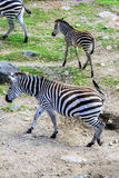Zebras drinking Royalty Free Stock Photo