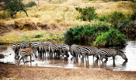 Zebras drinking water Royalty Free Stock Photography