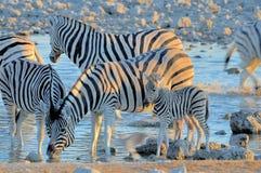 Zebras drinking water at sunset, Okaukeujo waterhole Stock Images
