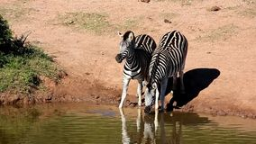 Zebras Drinking. Water at a waterhole in the African wild stock video footage