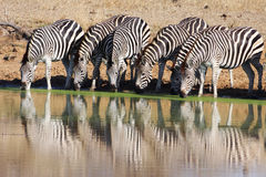 Zebras drinking at waterhole Stock Image