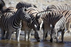Zebras drinking at a waterhole Stock Photo