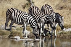 Zebras drinking at a waterhole Royalty Free Stock Images