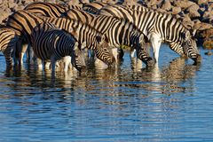 Zebras stand in the morning light drinking at the waterhole stock images