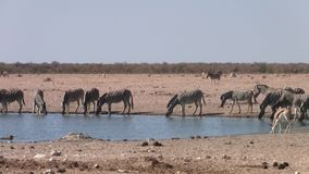 Zebras Drinking at Waterhole in Etosha NP. Zebras Drinking at Waterhole in Arid Plain of the Etosha Pan, Etosha National Park, Namibia, Africa - Zoom Out stock video footage