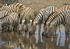 Zebras drinking at waterhole Royalty Free Stock Image