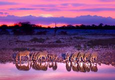Zebras drinking at waterhole stock images