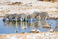 Zebras drinking at a watering hole Stock Photos