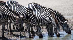 Zebras drinking at watering hole Stock Image
