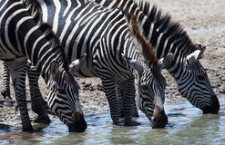 Zebras drinking at watering hole Royalty Free Stock Photo