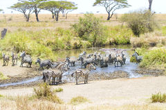 Zebras drinks water in Serengeti Royalty Free Stock Images