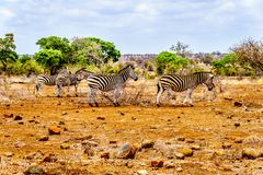 Zebras in the drought stricken savanna area of central Kruger National Park. In South Africa stock photo