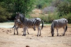 Zebras durch eine Wasserstelle stockfoto