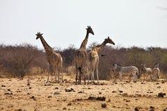 Zebras e girafas do Damara no waterhole, Etosha, Namíbia Foto de Stock