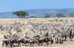 Zebras e wildebeest Fotos de Stock
