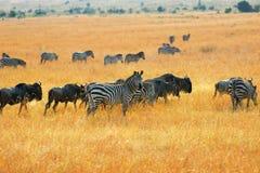 Zebras e wildebeest dos antílopes no savana fotografia de stock