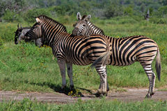 Zebras At Ease Stock Images