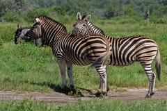 Zebras At Ease. Zebras resting in grassy plains Stock Images