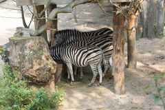 Zebras eat from a feeding trough Stock Image