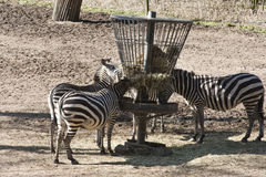 Zebras eating Stock Photography