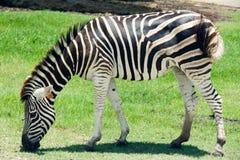 Zebras Eating Grass Stock Images