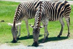 Zebras Eating Grass Royalty Free Stock Photos
