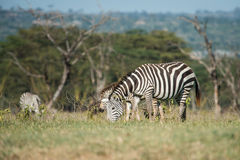 Zebras eating grass Stock Photo