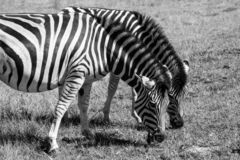 Zebras eating grass, photographed in monochrome at Knysna Elephant Park, Garden Route, Western Cape, South Africa. stock image
