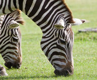 Zebras are eating the grass together Stock Photography